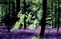 'England's bluebell woods are world famous'