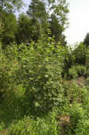 'hazel coppice is particularly attractive to deer'